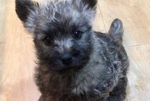 Cairn Terrier Puppies / So cute, imagine the puppy smell!