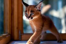chat caracal
