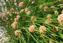 Plan a Garden: Grasses & Sedges