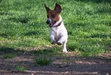 Jack Russell / il mio Gas