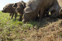 Schweine&Schweinefleisch