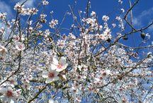 ALMOND BLOSSOM / Our e-shop is in blossom! :)  http://www.abbacino.es/en/eshop.html