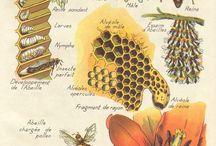 As abellas