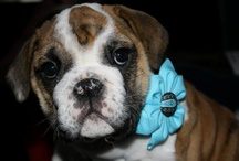 My LOVE for BULLDOGS / by Kacey Stoll-Sneen