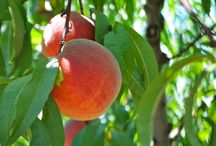 Just Peachy... / Battleview Orchards Peach Crop