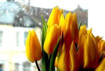 Tulipani & Tulipane