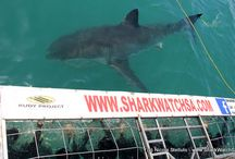 Great White Shark Capital of the World / Shark cage diving action with Marine Dynamics http://www.sharkwatchsa.com/en/home/