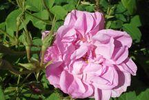 Flowers and Fragrance / Capturing Flower Essence