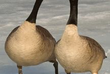 Canada Geese / by Bird B Gone, Inc.