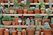 Kaktüs / Cactus