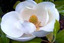 Magnolia-online