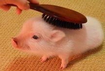 Pig fashion