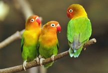 20 Jenis Lovebird Tercantik Lengkap dengan Gambarnya