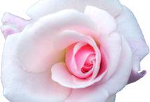 transparent roses