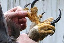 harp eagle claws