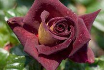 "Rose Eddy Mitchell ® Meirysett / Une rose ""rock n'roll"""