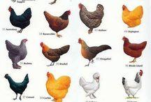 Turkey and chicken