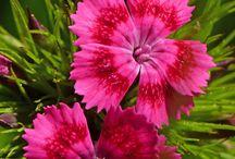 Neilikat - Dianthus