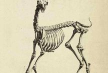 antelope anatomy