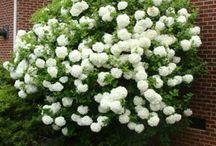 arboles florales ornamentales