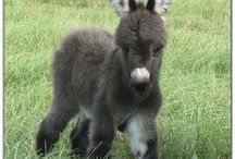 Animals / Mini donkey