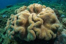 Corals of Indonesia / Coral reefs from Indonesia
