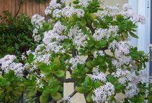 Blooming Jade / Jade plant