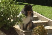 Shetland sheepdog / VIP in black from Marmorea's -Sydney