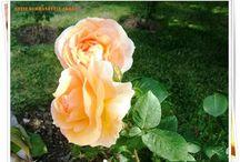 Güller / Çiçekler Kayseri