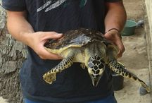 TURTLE CONSERVATION AND REHABILITATION ON THE ISLAND OF NUSA PENIDA IN BALI / Assist a Turtle Conservation project located on an island which is a 45 minute speed boat ride from mainland Bali / by Travellers Worldwide