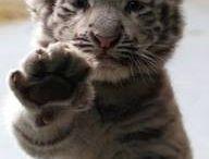 Tigers :)
