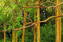 Rainbow Eucalyptus / Eucalyptus deglupta is a tall tree, commonly known as the Rainbow Eucalyptus, the Mindanao Gum, or the Rainbow Gum. It is the only Eucalyptus species found naturally in the Northern Hemisphere. Its natural distribution spans New Britain, New Guinea, Ceram, Sulawesi and Mindanao. | www.godsfolder.com #GodsFolder