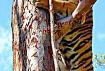 BIG CATS / Big cats lions tigers leopards etc.