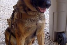#MWD / For our adoption of our Military Working Dog!  / by Ashley Michelle