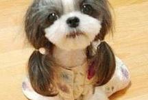Shi tzu grooming