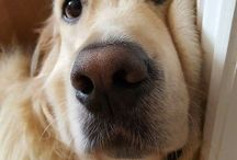Golden Retriever / The Golden Retriever is one of the most popular dog breeds in the U.S. The breed's friendly, tolerant attitude makes him a fabulous family pet, so make sure your furry family member has everything they want & deserve with Best Pet Inc. supplies!