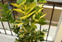 My Lime Tree