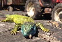 Lizard / Lizard i. Slovakia