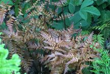 Ferns / If you have a shady corner and you don't know what to plant there then Fern's are your answer. They are also fabulous for under planting trees and filling gaps in the border.