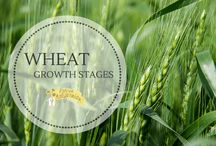 Farming: Wheat / Wheat related posts from PrairieCalifornian.com