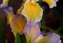 Dutch Irises / Dutch Irises