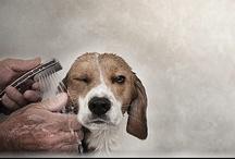 Vizes beagle kutya