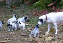 Ariégeois dog breed / Ariégeois dog breed pictures