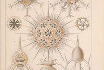 Ernst Haeckel - Kunstformen der Natur (1899-1904)