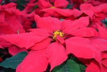 Poinsettias at Stutzmans / We have a great variety and large selection of poinsettias.  They are all healthy, beautiful and sure to make the perfect gift!
