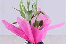 Tulip  Plants