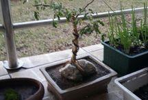 My Bonsai trees