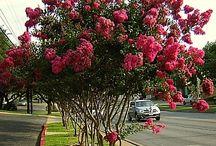 Árvores para calçadas