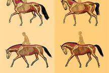 Horse biomechanics