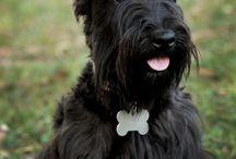 Black Scottish Terrier / Cute black Scottish Terriers